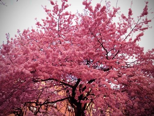 RTL YPIIBTL_Spring Blossoms